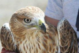 Bayburt'ta Yaralı Halde Bulunan Kızıl Şahin Tedavi Altına Alındı