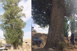 Bu Kavak Ağacı Görenlerin İlgisini Çekiyor