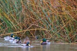 Kışın Habercisi Yaban Ördekleri Tekrar Bayburt'ta