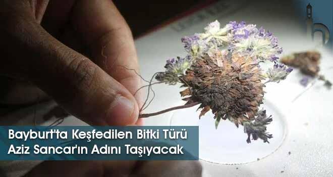 Bayburt'ta Keşfedilen Bitki Türü Aziz Sancar'ın Adını Taşıyacak