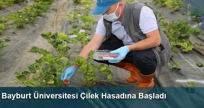 Bayburt Üniversitesi Çilek Hasadına Başladı