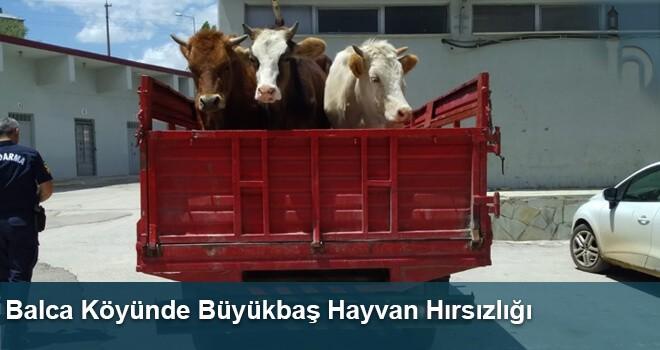 Balca Köyünde Büyükbaş Hayvan Hırsızlığı