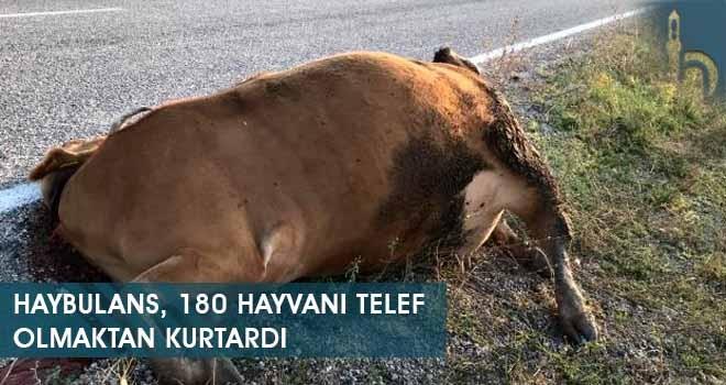 Haybulans, 180 Hayvanı Telef Olmaktan Kurtardı