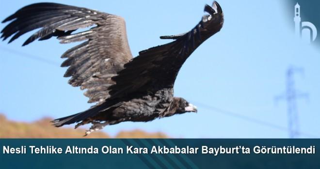 Nesli tehlike altında olan Kara Akbabalar Bayburt'ta görüntülendi