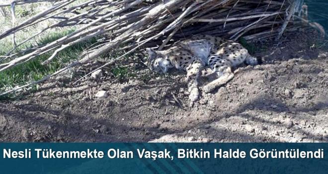 Nesli Tükenmekte Olan Vaşak, Bayburt'ta Bitkin Halde Görüntülendi