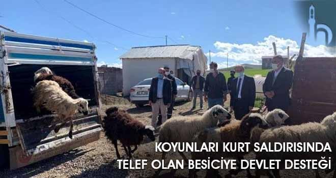 Koyunları Kurt Saldırısında Telef Olan Besiciye Devlet Desteği